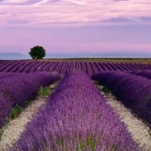 cropped-lavender-field-andreas-karelias